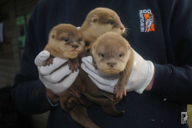 This adorable bundle of baby sea otters.