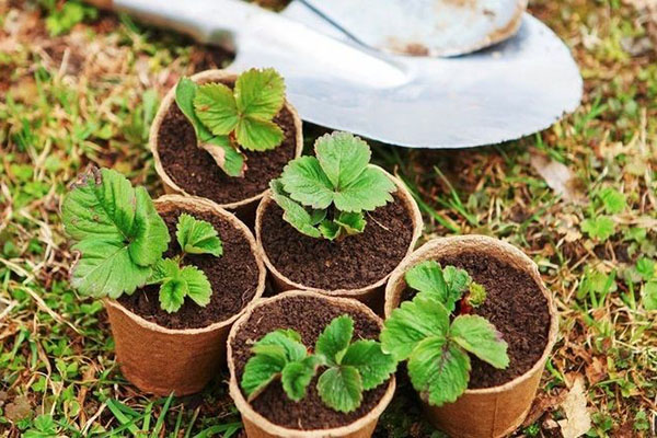 В какие сроки и как правильно сеять землянику на рассаду в 2018 году