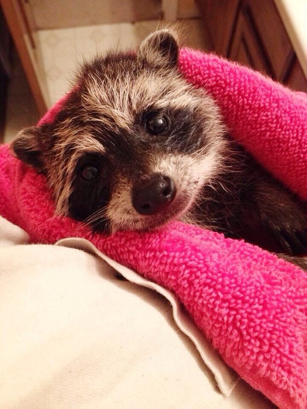This baby raccoon who just had her first bath time.