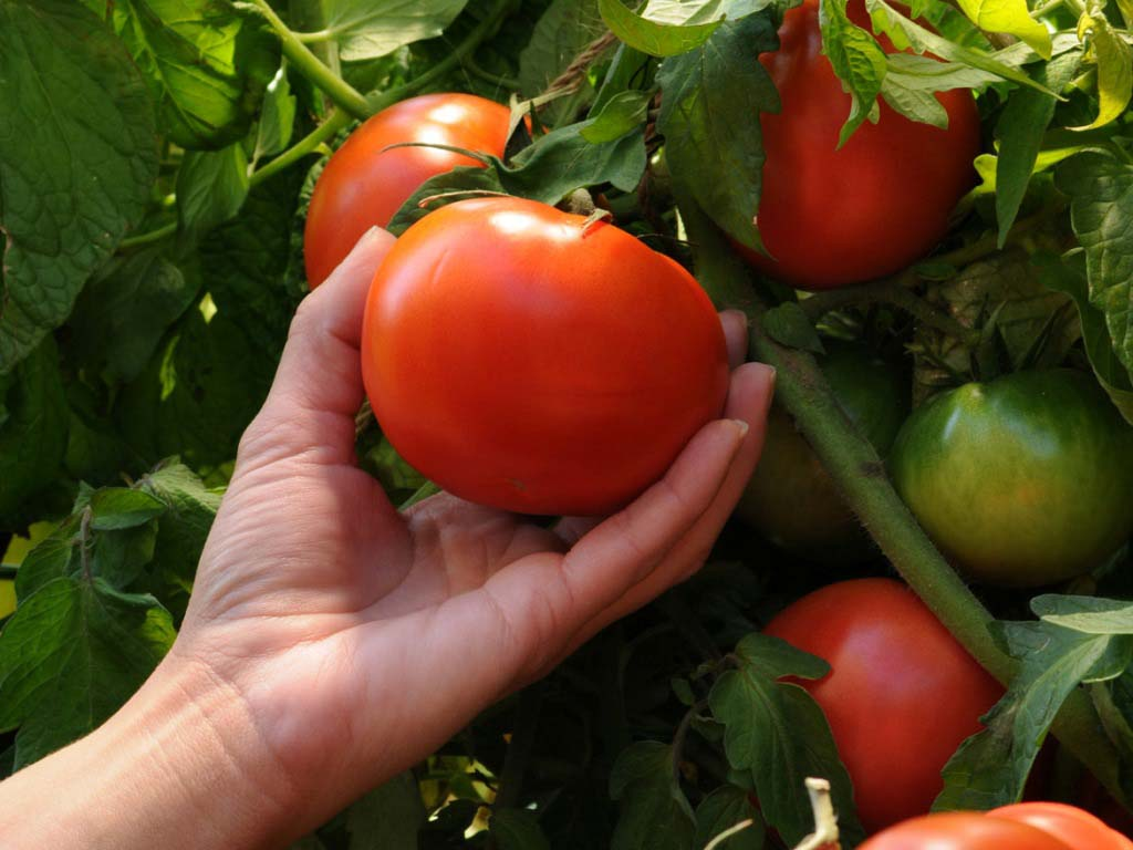 Универсальная подкормка для пышного цветения и хорошего плодоношения томатов
