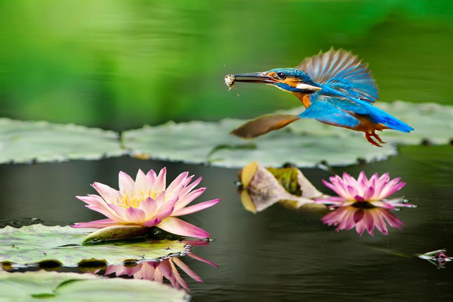kingfisher flight and lotus, автор — FuYi Chen на 500px.com