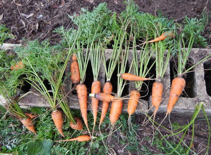 Как посадить морковь «по-американски», которая точно вырастет при любых условиях!