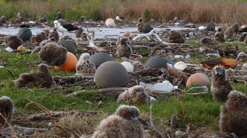 Душераздирающие снимки мертвых морских птиц с желудками, набитыми океанским пластиком