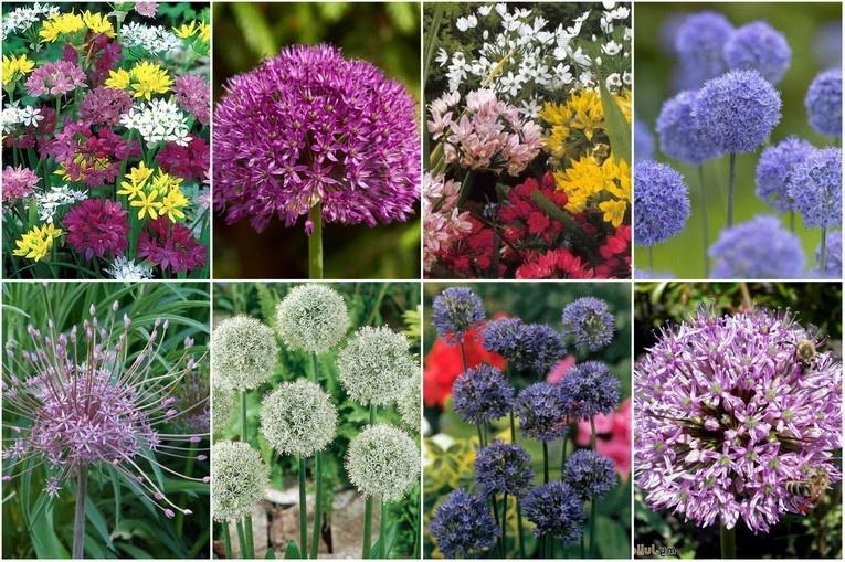 Цветущий декоративный лук очень разнообразен: фото