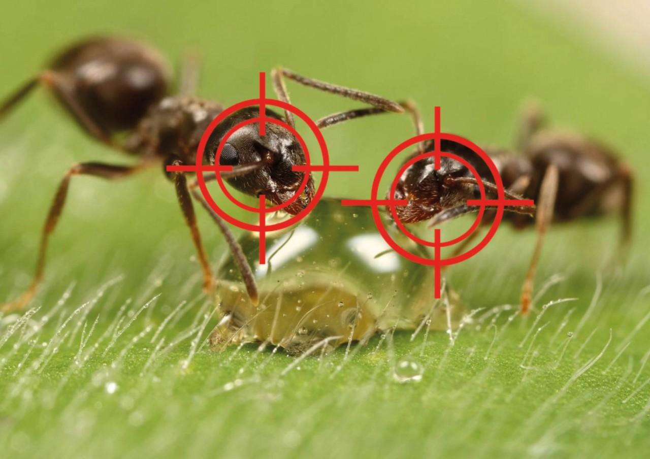 Выгнала муравьев с огорода за два часа!