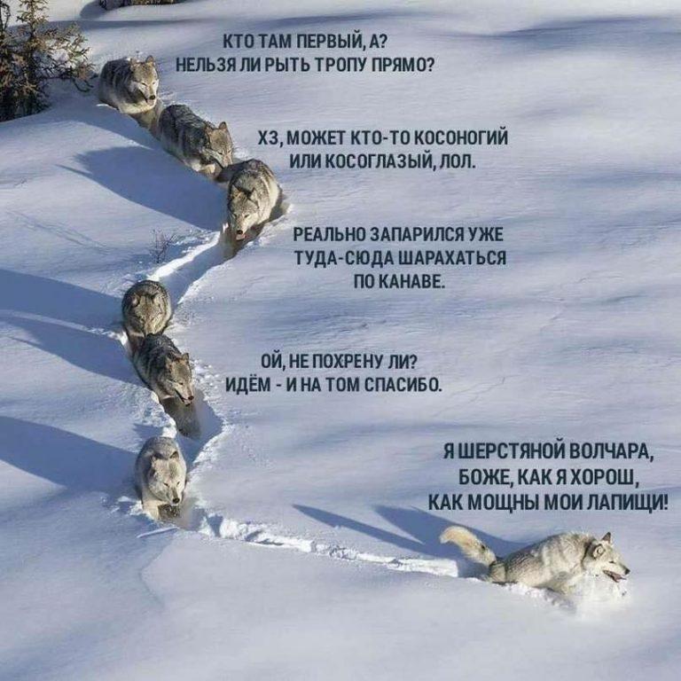 «Шерстяной волчара» из знаменитого мема оказался волчицей