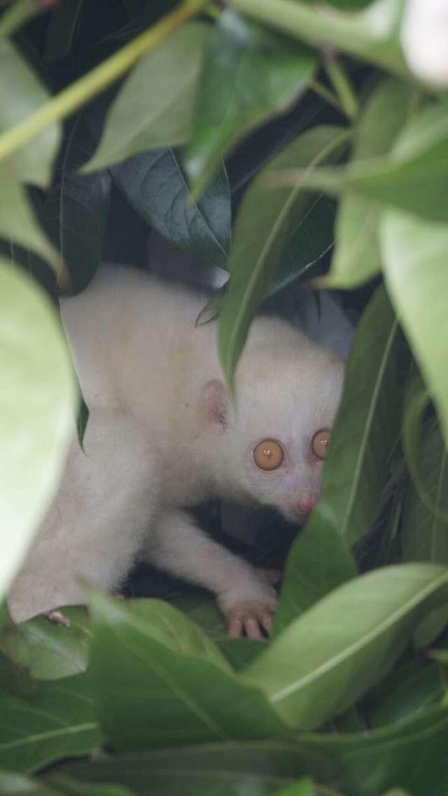 Спасатели никогда прежде не видели такого зверя! Лори отняли у злоумышленников и отпустили в лес