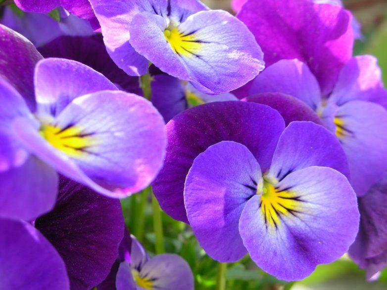 Домашние цветы, приносящие удачу и счастье