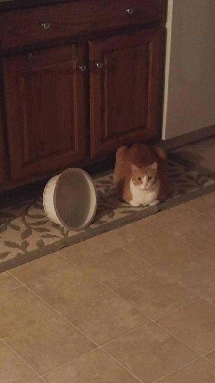 """""""Каждый раз, когда Бутс хочет, чтобы ему налили свежей воды, он переворачивает миску со старой и просто ждёт"""" гифки, животные, кошки, приколы"""