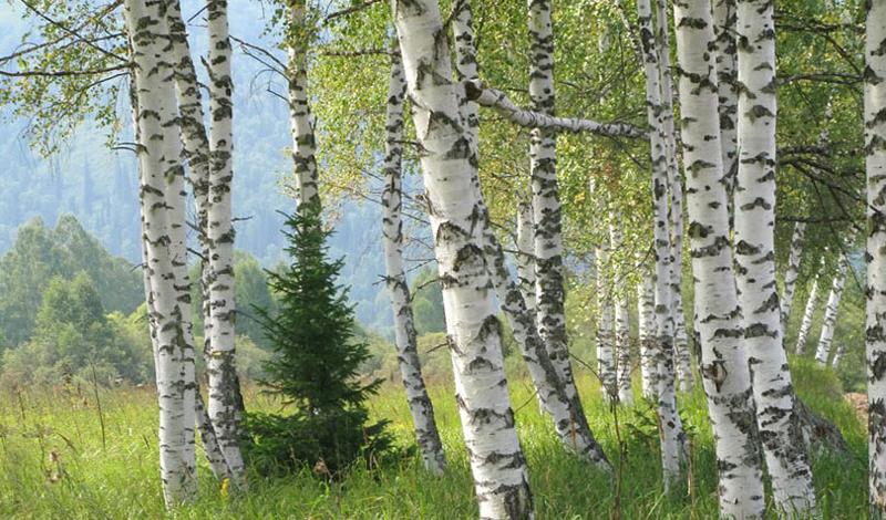 Главные деревья, которые помогут выжить в лесу