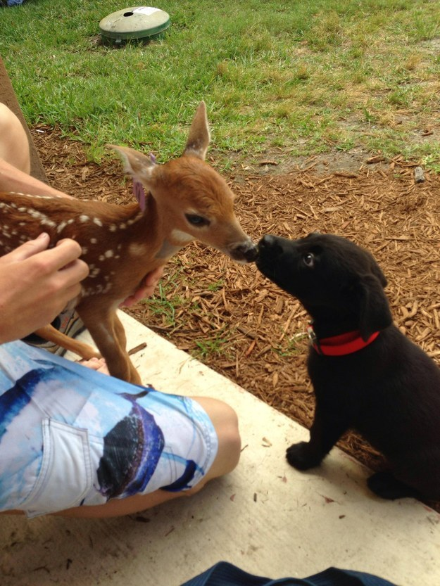 And this fawn meeting her new best friend.