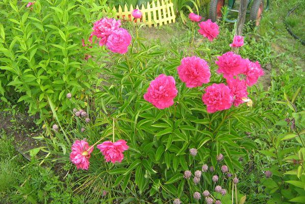 Почему не цветут пионы: 17 причин