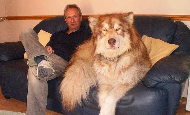 Собака выросла размером с медведя и просто выглянула на улицу, чтобы волки ушли и не возвращались Культура