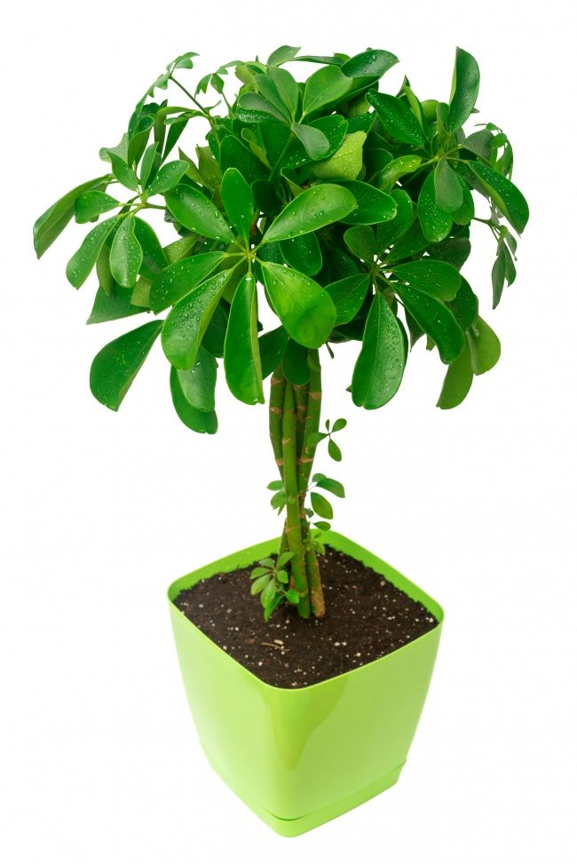 Растения, которые рекомендованы для очистки воздуха