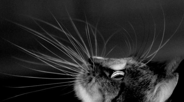 9. Вибриссы животные, коты, факты