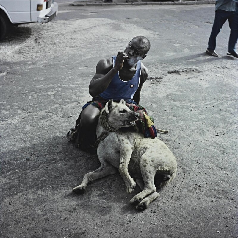 Способности к обучению у них не хуже собак, хотя гиены не относятся к собакам, они кошкообразные африка, гиены, животные, интересное, приручение, факты