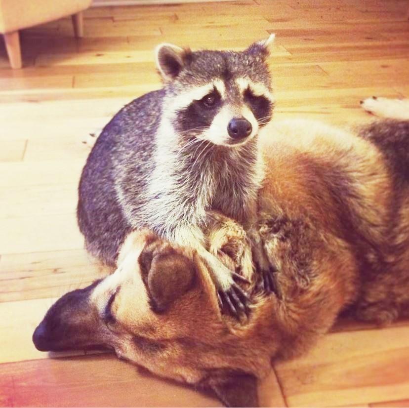 Одноглазый енот помогает каждому новому животному в заповеднике