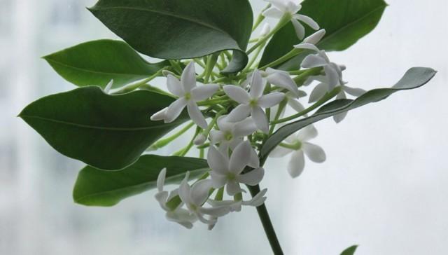 Акокантера восхитительная, или Длиннолистная (Acokanthera oblongifolia, синоним - Acokanthera spectabilis)