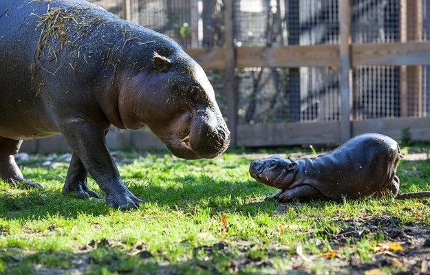 And this baby hippo having play time with his mom.