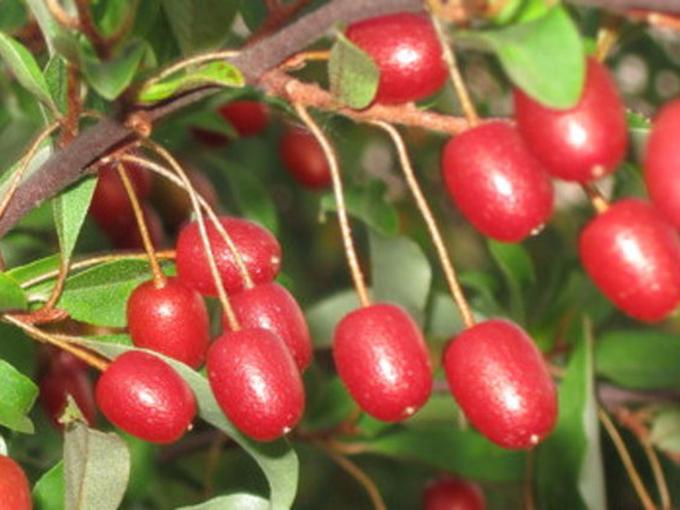 Гуми: полезные свойства чудо-ягоды