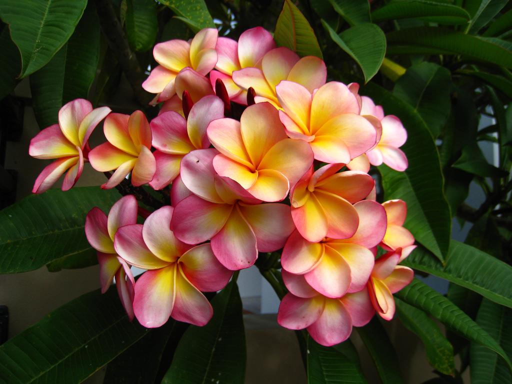 Удивительная Плюмерия (Франжипани) - аромат вдохновения, чувственности и соблазнения...