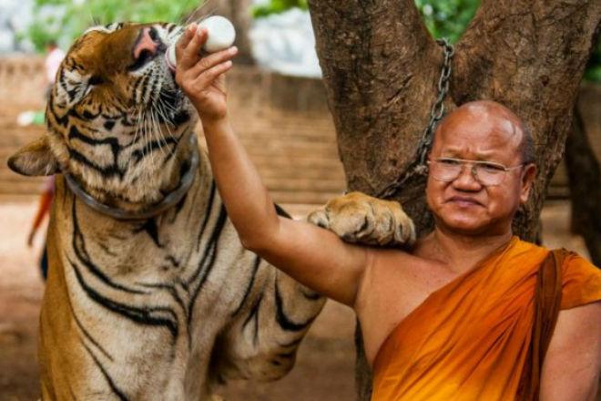 Тигриный монастырь в Таиланде: место, где хищники живут рядом с людьми Пространство