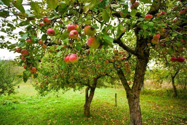 Как создать гильдию для фруктовых деревьев (практика пермакультурного садоводства)