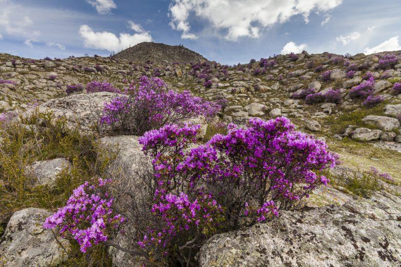 На Алтае цветет маральник: потрясающая красота!
