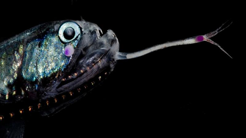 Günther's boafish животные, фотограф, цвета