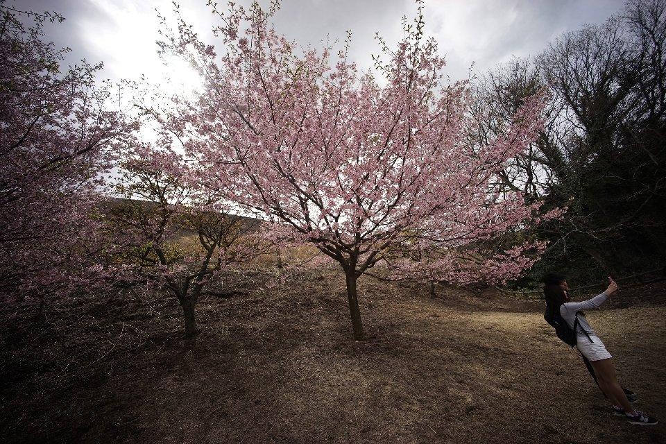 традиция любования цветущей сакурой-3