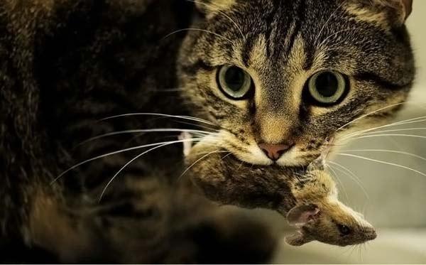 Почему коты приносят Вам дохлых мышей?