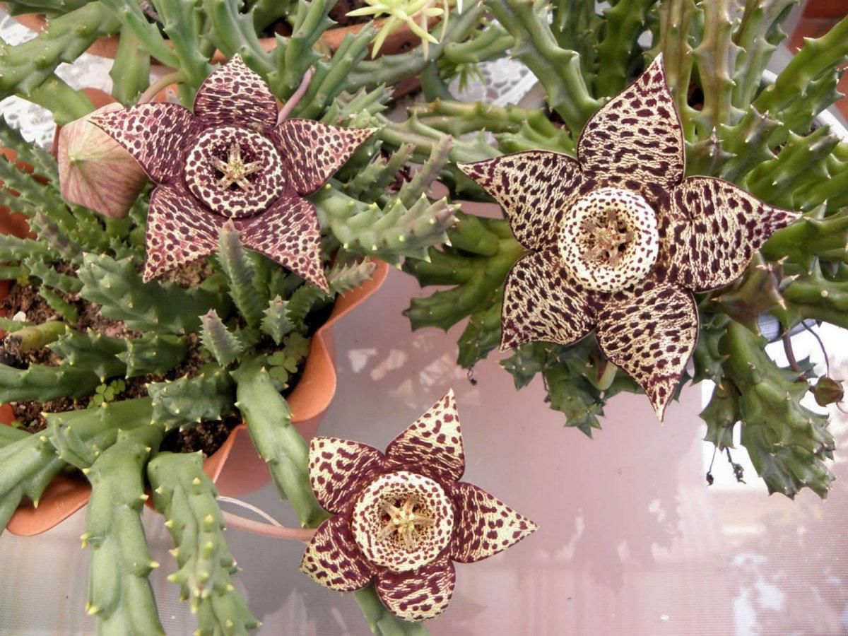 Орбея пёстрая (Orbea variegata), или Стапелия пёстрая (Stapelia variegata)