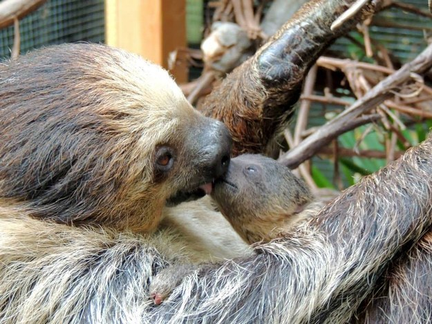 And this mama sloth kissing her baby goodnight.