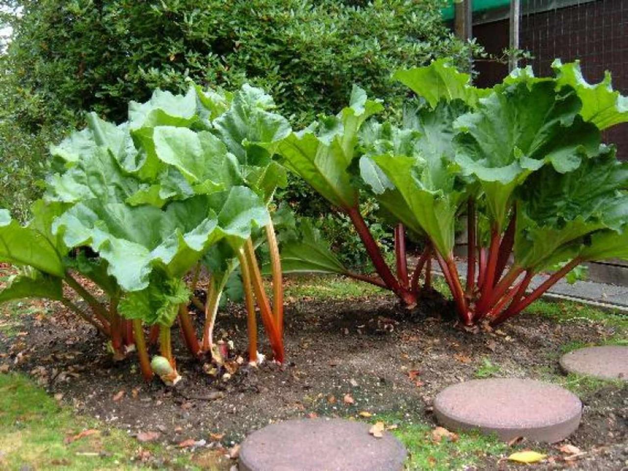 Оригинальный способ выращивания ревеня. Как правильно искать грибы!