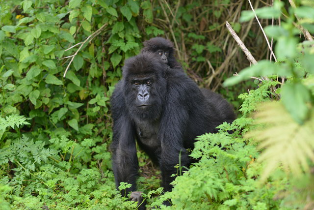 Чтобы спасти своего детеныша, горилла-мама бросила стаю и ушла в рискованный путь