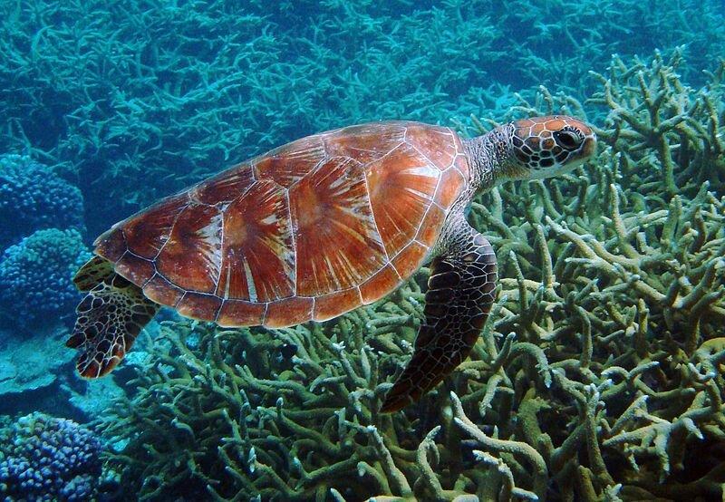 Зеленая морская черепаха на Национальном заповеднике атолла Пальмира