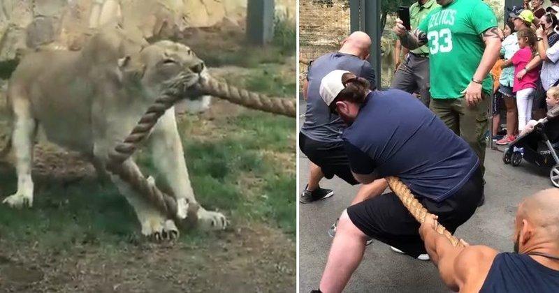 Три профессиональных борца проиграли в перетягивании каната молодому льву