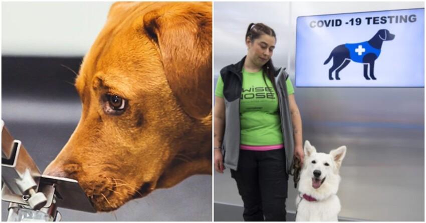 Собаки-ищейки определяют SARS-CoV-2 не хуже ПЦР-теста