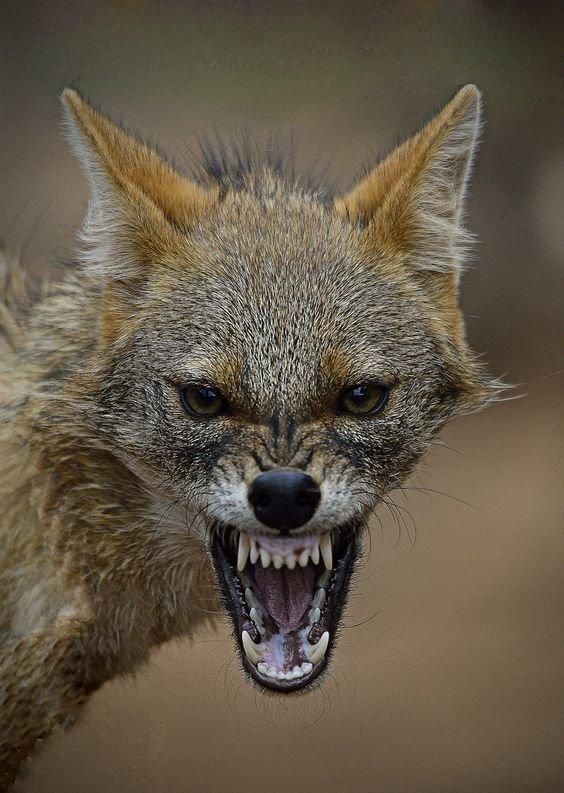 Звериный оскал природы животные, звери, зубы, интересное, красота, оскал, природа