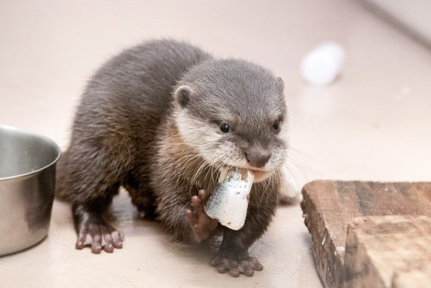 This baby otter who is having a yummy breakfast.