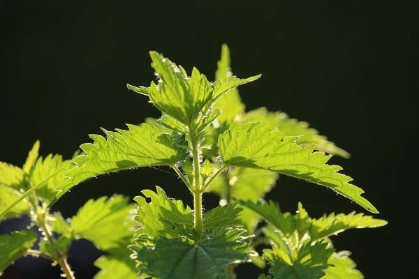 Рецепты здоровья: крапива для укрепления иммунитета