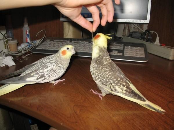 В итоге получилась ручная здоровая птичка (на фото слева): дети, мама, птицы