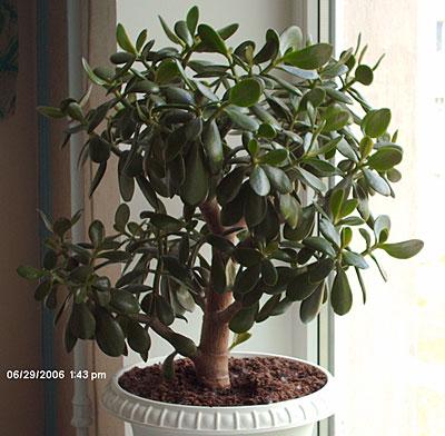 Крассула (Денежное дерево), толстянка