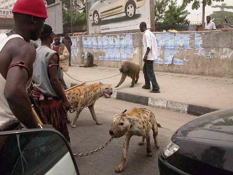 Из них получают серьезные охранники - гиены охраняют свою стаю, включая человека похлеще собак африка, гиены, животные, интересное, приручение, факты