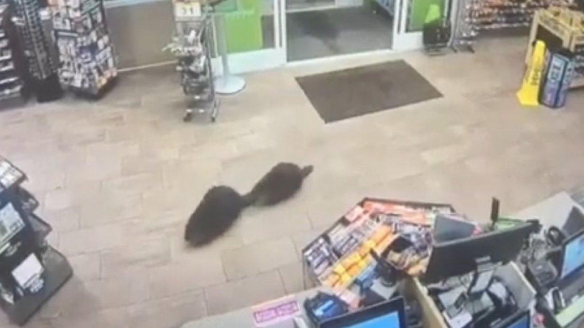 Бобры зашли в супермаркет за продуктами
