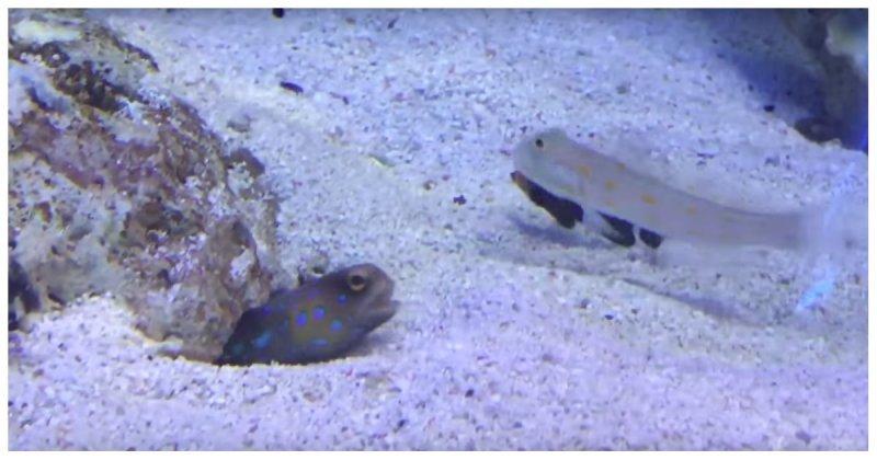 Пакостливая рыба мешает другой рыбе вырыть укрытие