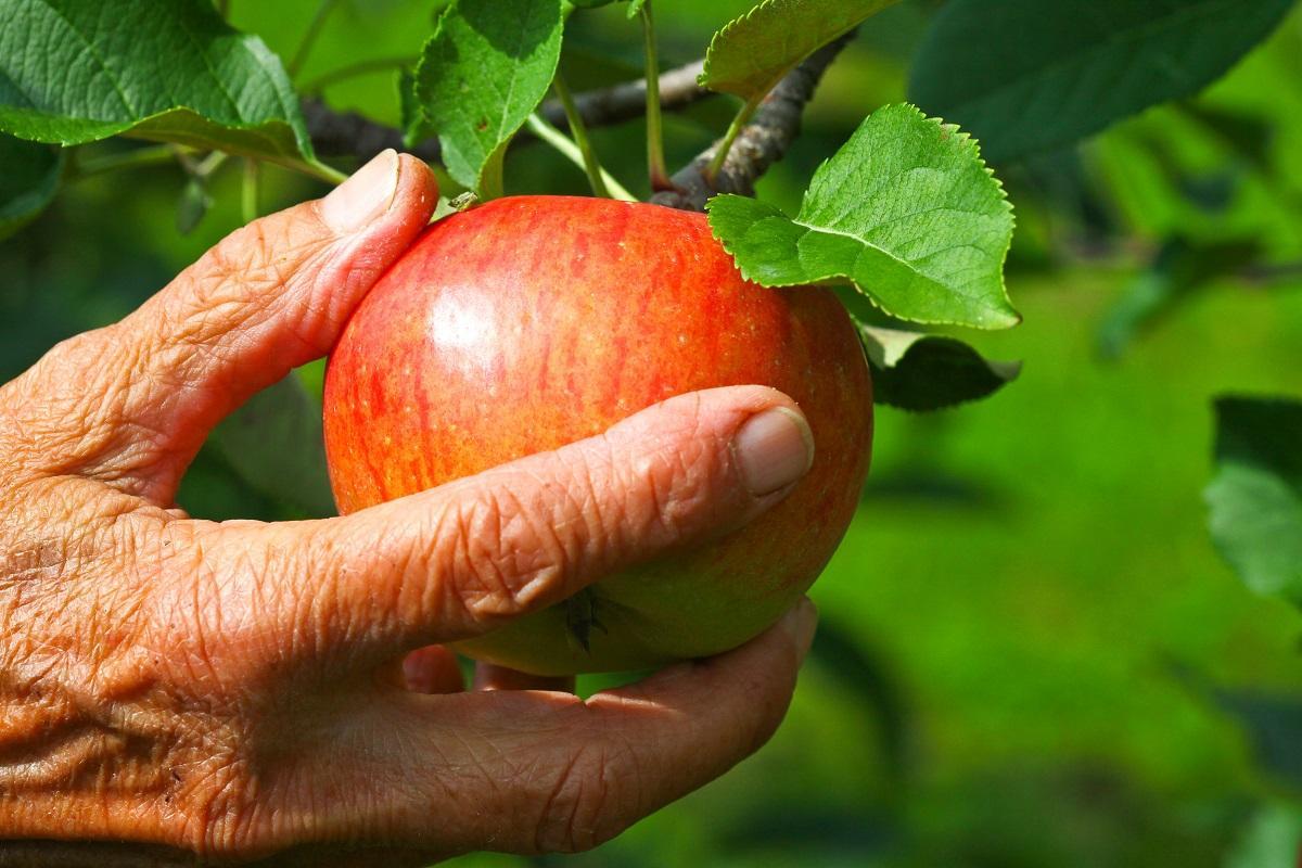 Рука срывает яблоко