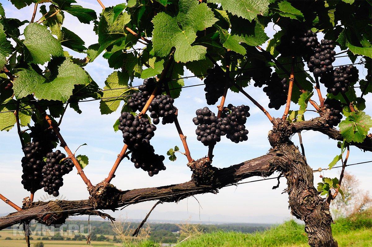 разделе картинки куст винограда сравнения цен
