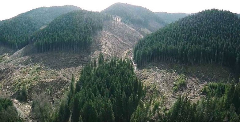 Карпатский лес гибнет из-за …