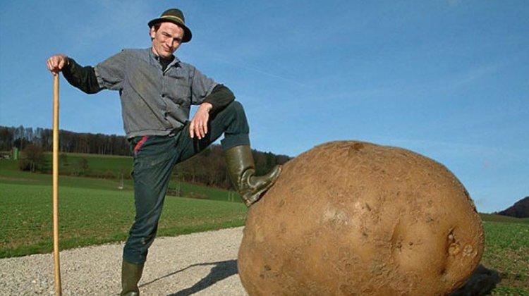 Как немцы картофель выращивают
